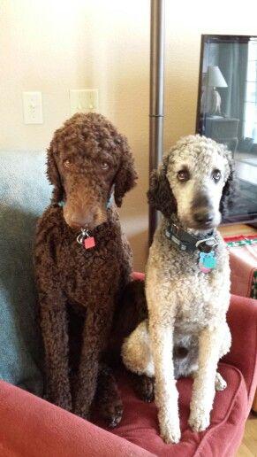 Standard poodles waiting for dinner