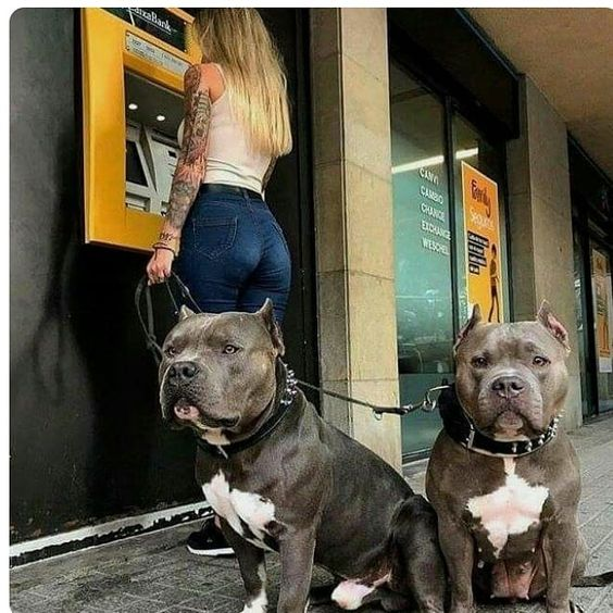 perros increibles, pitbull.
