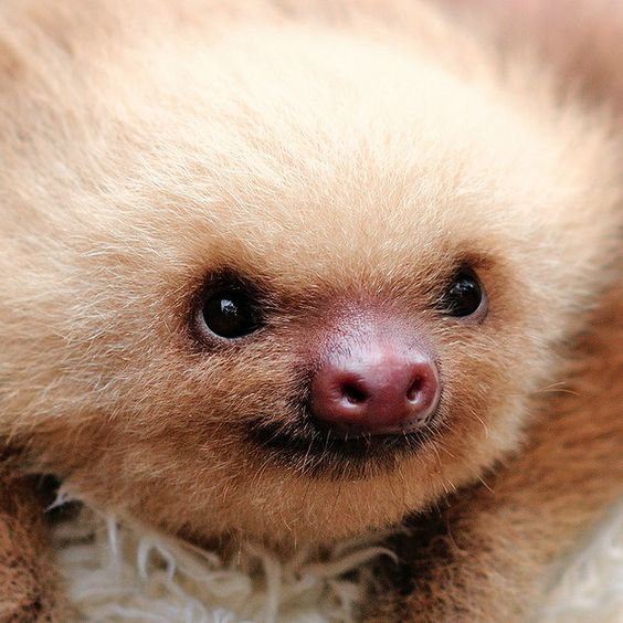 Cutie! | Sloths Are Ridiculously Cute But Their Skeletons Are Horrifying