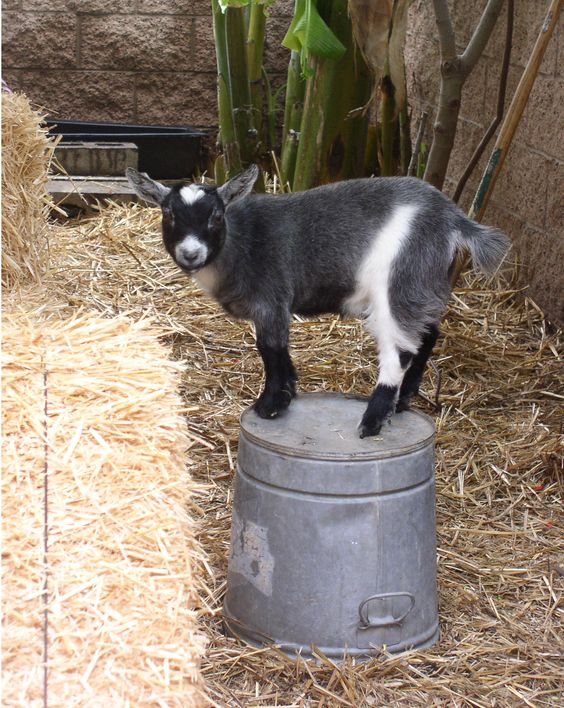 we want pygmy goats! okay, i want them, but the menfolk do not mind. perhaps next spring!