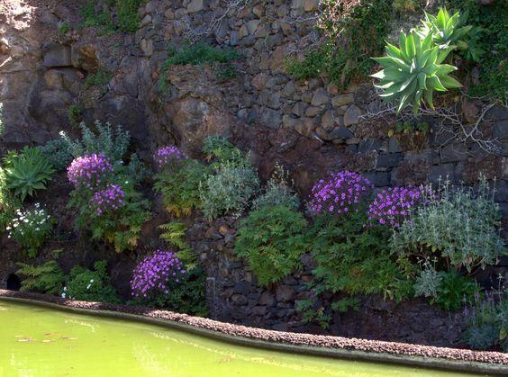 Der Madeira-Storchschnabel in einer eindrucksvollen Felswandanlage auf Madeira. Bei uns muss er leider mehr oder weniger frostfrei überwintert werden und macht daher etwas Mühe. Es würde sich aber lohnen!