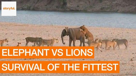 Un valiente elefantito se defiende de un grupo de leones. Elephant Survives Attack from 14 Lions (Storyful, Animals)