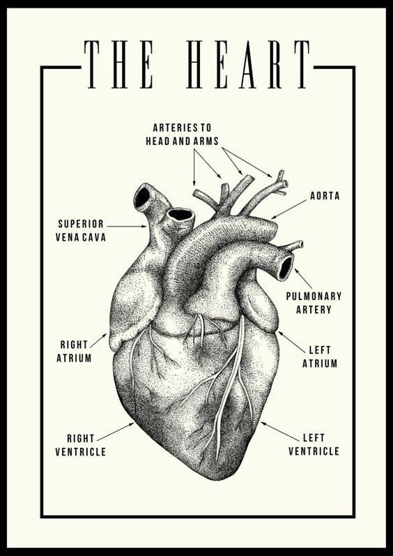 Anatomic Heart Poster by TheMaroonHouse on Etsy: