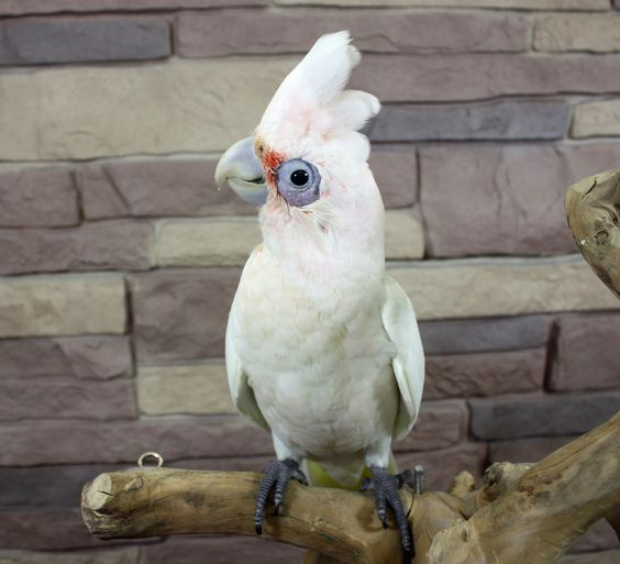 Bare Eyed Cockatoo baby- these guys are such wonderful clowns