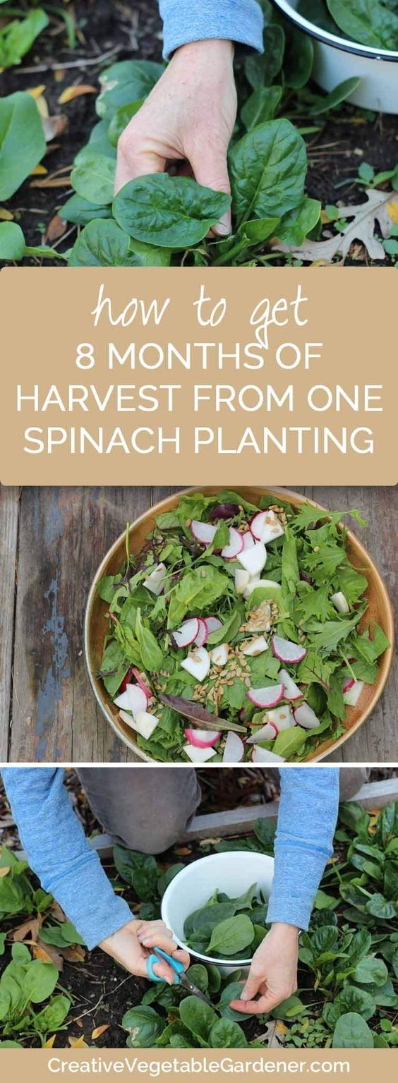 Spinach can survive the toughest of winters and give you many months of salads in the darkest time of year. You just have to plan ahead!