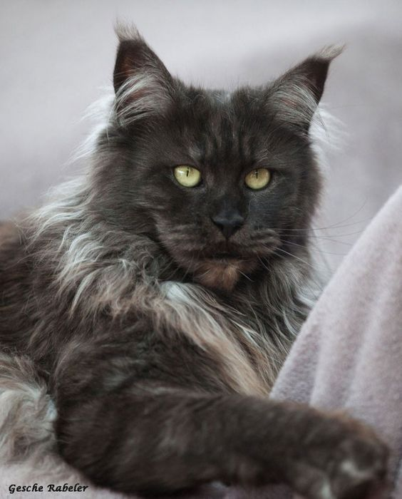 Maine coon, Maine and ...