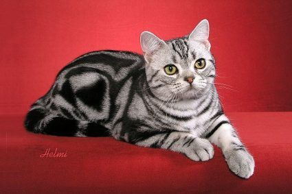 american shorthair cat - See More Tops Cat Breeds at Catsincare.com!