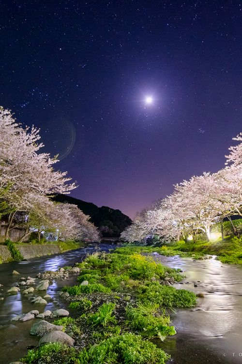 Moonlight and riverside cherry trees, Japan