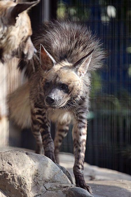 ハイエナ : 動物園放浪記