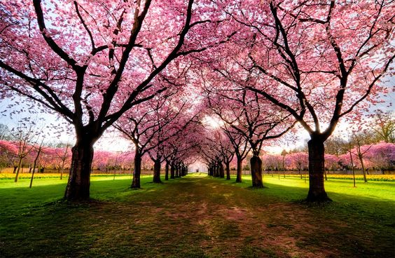 Cherry blossom tree path, Germany. Photo by: Shoeven