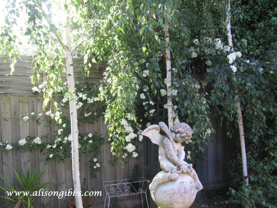 Trees silver and fence on pinterest for Silver birch trees for small gardens