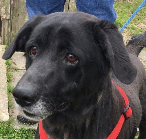 Adopt Mcclain On Petfinder In 2020 Black Labrador Retriever Dog Adoption Labrador Retriever Mix