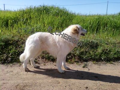 Aïdi chien de l'Atlas - B-chergui