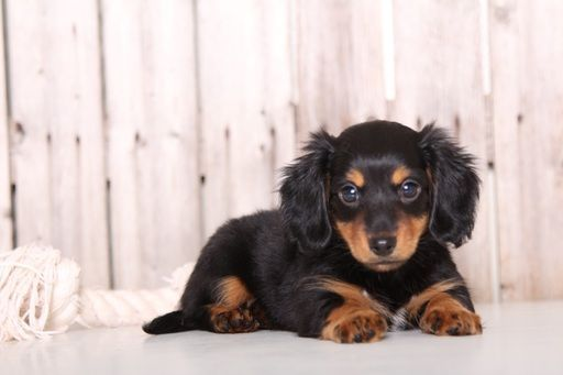 Dachshund Puppy For Sale In Mount Vernon Oh Adn 47473 On