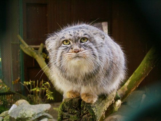 My next cat (j/k) - this is actually a wild cat called a manul, aka Pallas's cat. Note the round pupils in the eyes...