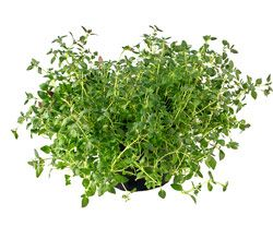 Thyme    The common name for Thymus,a genus of aromatic herbs or shrubby plants of the Mint Family, long cultivated and valued as both ornamentals and sweet herbs. They have small lavender or pink flowers and are planted in the rock garden and the border for ornament, or in the herb garden, to be used for seasoning. They grow easily and are easily increased from cuttings or seed.