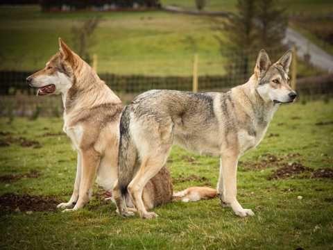Purebred Saarloos Wolfdogs Rhayader Powys Pets4homes Tamaskan Dog Wolf Dog Dog Poses
