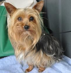 Gremlin is an adoptable Yorkshire Terrier Yorkie Dog in Hartland, WI.  Please take time to read this ENTIRE listing, including clicking on the 'Read More About This Pet' link located below. Please con...