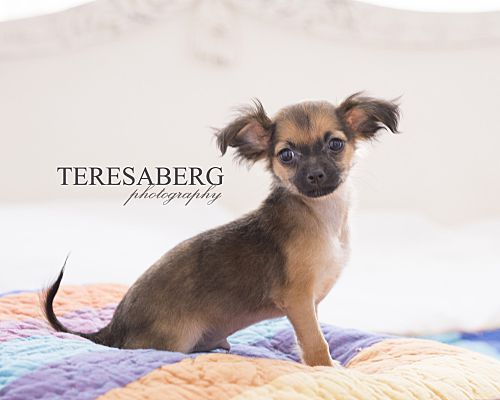 Plano Tx Chihuahua Meet Prince Charming A Pet For Adoption