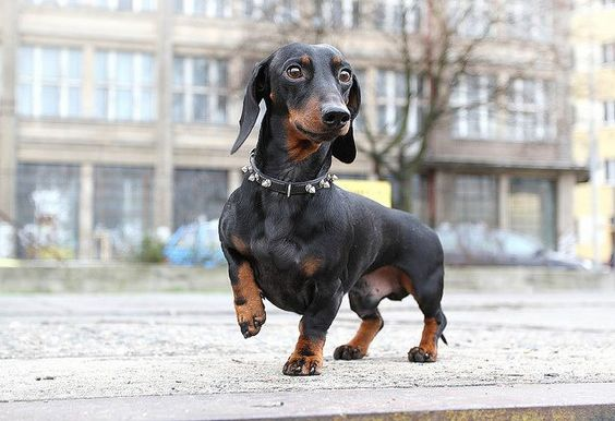 Can hear crinkling of a cheese wrapper from 100 yards... (via Dachshund Delights)