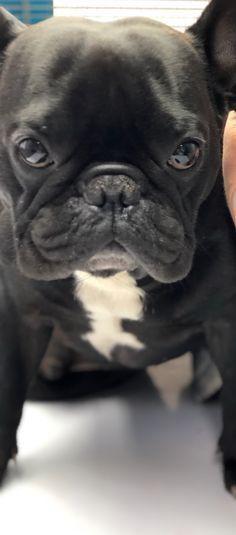 Untitled In 2020 French Bulldog Bulldog Puppies French Bulldog