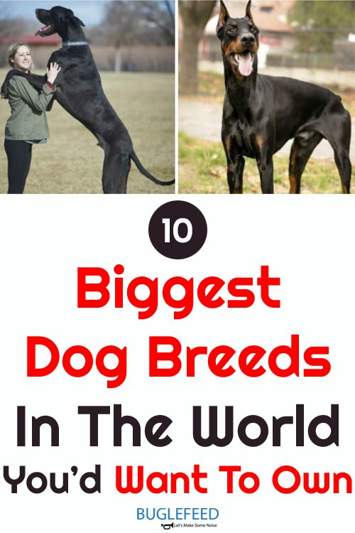 10 Biggest Dog Breeds In The World You D Want To Own Big Dog