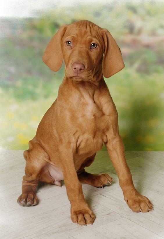 Beau Varratos Vizsla Vizsla Puppies Vizsla Dog Breed Vizsla