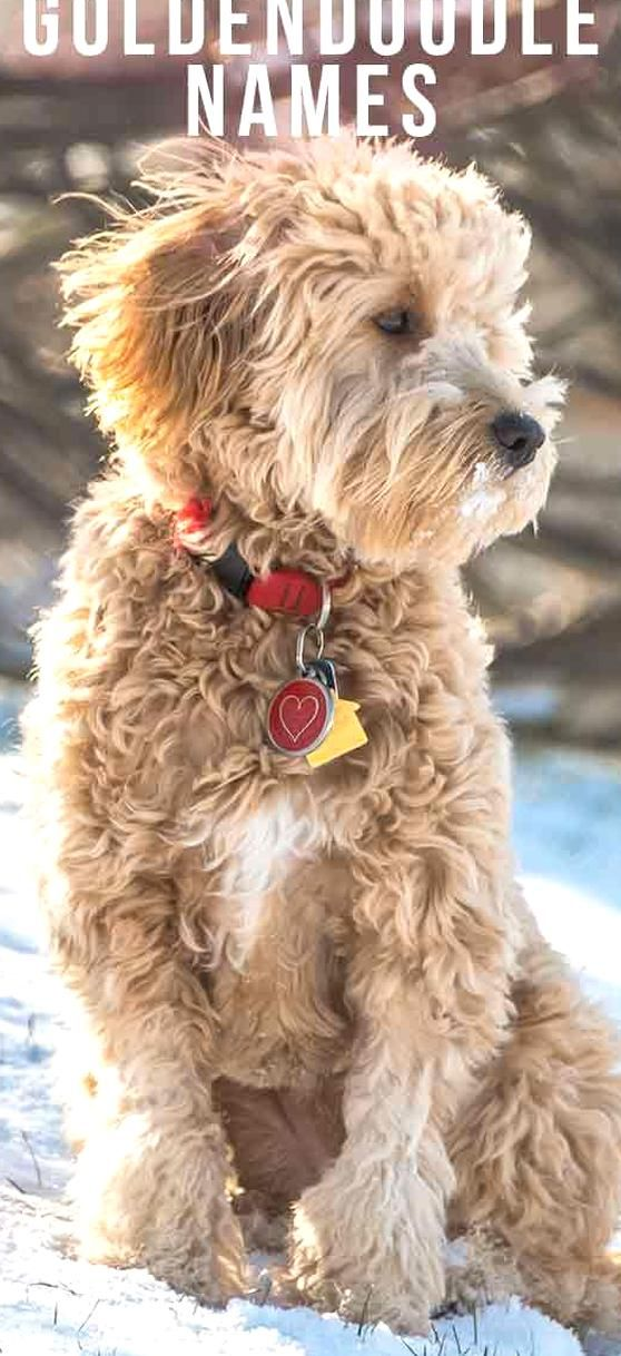 Goldendoodle Names Find The Perfect Title For Your Cute Doodle In 2020 Goldendoodle Names Best Dog Names Dog Names