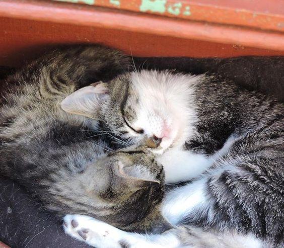 Porque não hora de dormir e se esquentar é que acontecem os melhores encaixes.  #taquentinho #tadelicia --------------------------------------------------- www.catland.org.br www.catlandlojinha.com.br  contato@catland.org.br --------------------------------------------------- #catland #gocatland #catlandrescue #instacats #catlovers #catsofinstagram #catoftheday #ilovecats #adote #adotenãocompre