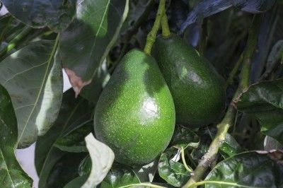 Avocado Tree Fertilizer: How To Fertilize Avocados - Fertilizing avocado trees, along with general care and proper planting, will give you the best chance of an abundant and healthy crop of fruit. The question is how to fertilize avocados? Click this article for avocado fertilizer requirements.
