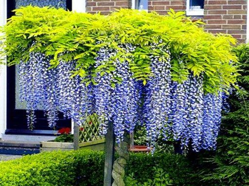 Budleja Trojkolorowa Tricolor Zestaw 3 Sadzonek 8843766446 Allegro Pl Plants Alpine Plants Garden