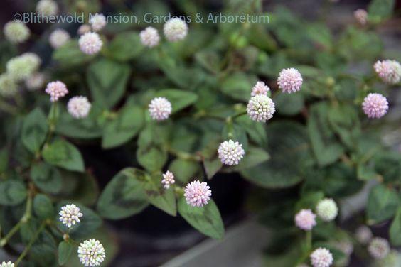 Persicaria capitata 'Magic Carpet'. Photo: Kristin Green, Blithewold Mansion, Gardens & Arboretum