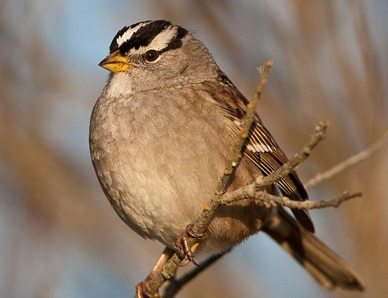 Singing Out Loud: Sparrows Change Their Tune to Be Heard in Noisy Cities @Jennifer Rouan