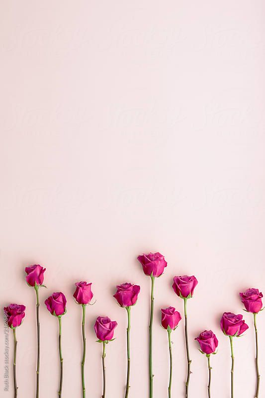 Pink Roses On Pink By Ruth Black For Stocksy United Mawar Cantik