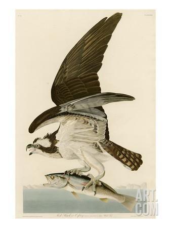 Fish Hawk or Osprey Giclee Print by John James Audubon at Art.com