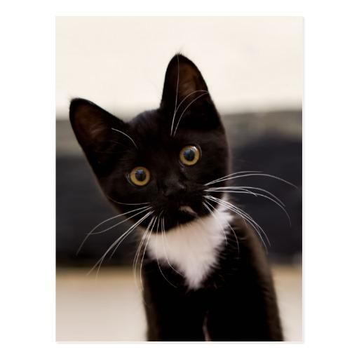 Valentines Adorewe Zazzle Zazzle Cute Black And White Tuxedo Kitten Postcard Adorewe Com Tuxedo Kitten Black And White Kittens White Cats