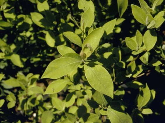 spicebush a largish shrub native with cinnamon to