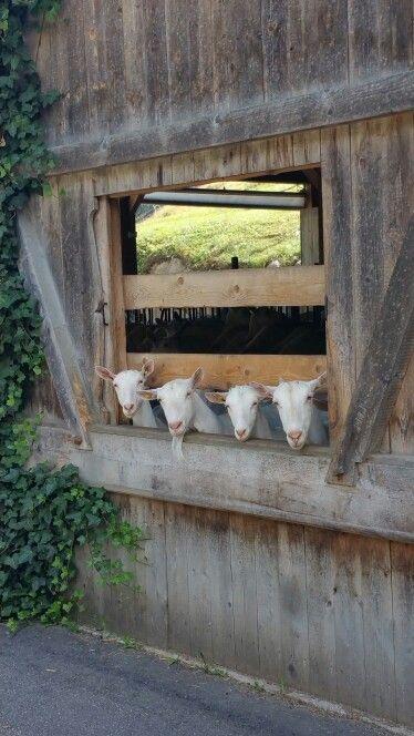 At the goat bar...