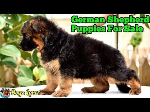 Top Quality Double Coat German Shepherd Puppies For Sale German