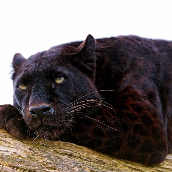 Black Panthers Panthers And Black On Pinterest