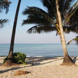 Kokosnüsse auf Koh Kood