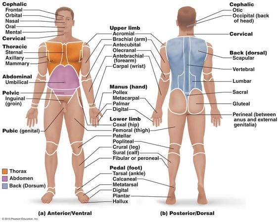 Anatomical Directions Worksheet as well 5576383 in addition 15443388 in addition 280138039296744661 moreover 2230887. on anatomical body cavities