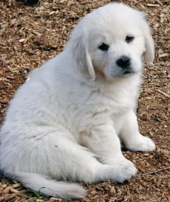 Image result for english cream golden puppy