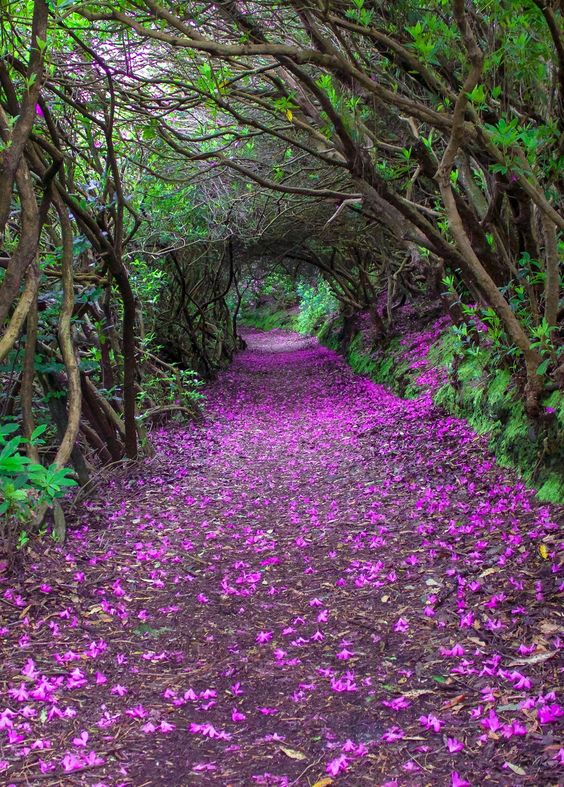 Natural Rhododendron tunnels in Reenagross Park, Kenmare, Ireland: