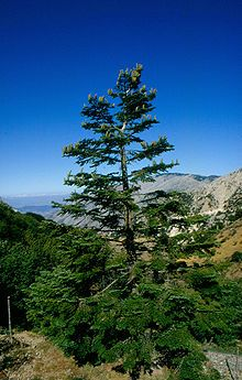 http://en.wikipedia.org/wiki/Abies_nebrodensis  Critically endangered - Sicily