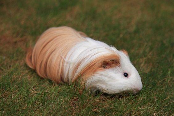 silky guinea pigs | Guinea_pig_silkie_0007