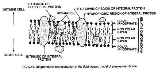 Labeled Diagram Of Plasma Membrane Fresh Structure Of Plasma Membrane With Diagram In 2020 Plasma Membrane Printable Label Templates Plasma