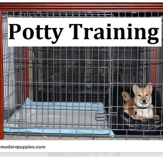 Shiba Inu Puppies. How To Potty Train A Shiba Inu Puppy. Shiba Inu House Training Tips. Housebreaking Shiba Inu Puppies Fast & Easy. Share this with anyone needing to potty train a Shiba Inu Puppy. Watch our FREE world-famous potty training video at ModernPuppies.com #ShibaInu #ShibaInuPuppies #HowToPottyTrainAShibaInu #ShibaInuHouseTrainingTips #HousebreakingShibaInuPuppies #ShibaInuPuppy #ShibaInuTraining #TrainingShibaInu