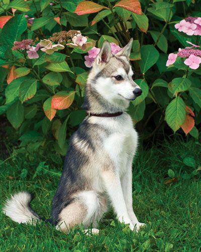 Alaskan Klee Kai Dog..beautiful stance...