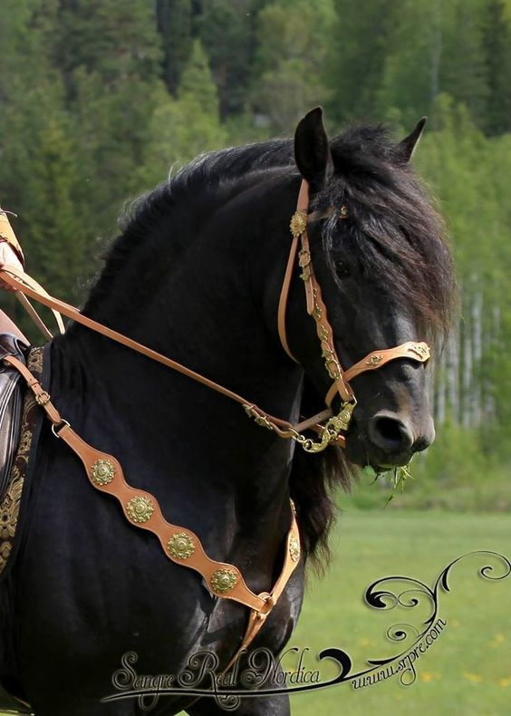 Friesian horse with custom bridle and breastplate with chrome rosettes. - from Baroque Tack